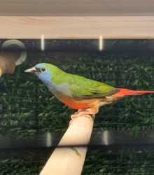 nonpareil pintail parrot finches wanted